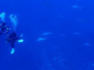 久米島ツアー マンタ・ハンマー・ザトウクジラの3冠王を見に行こう!!