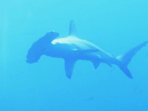 7/10もハンマー群れGET!潮も青く20~25mの透明度、水温も25~26℃で最高ですヽ(´▽`)/