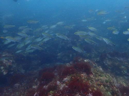 7/16 富戸ボートはイサキ、タカベの大群れでした♪