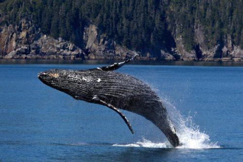 この時期にしか見れないザトウクジラを見に行こう\(^o^)/ そして泳ごう!! 奄美大島ホエールスイム付きツアー3月6日(土)~9日(火)3泊4日