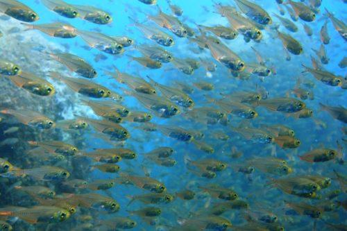 5/3 1日中キビナゴ・イワシが舞う海で今日は5匹も可愛いネコザメに出会いました(≧▽≦)