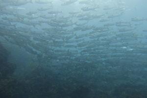 10/13 富戸:岩場を覗くウツボがクリーニング♪そして多くの幼魚\(^o^)/ハナゴイ、タテジマキンチャクダイ等々